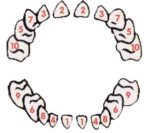 What everyone should know about the order of baby teeth @ Baby-Log ...